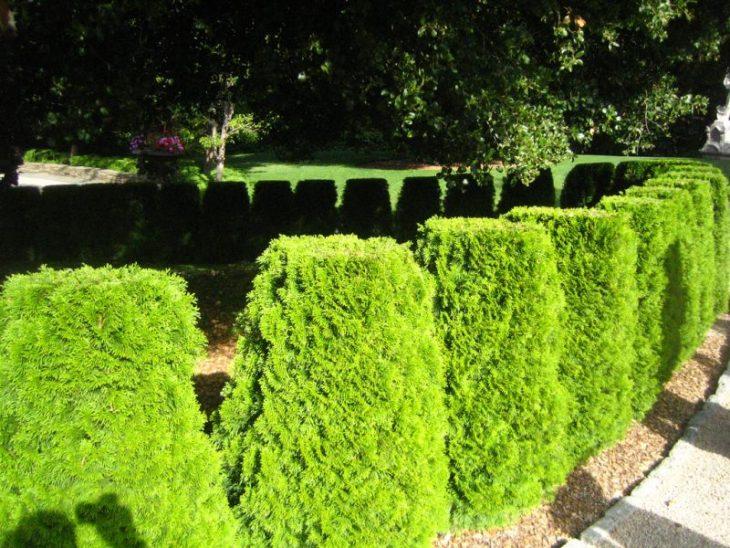 Декоративная живая изгородь