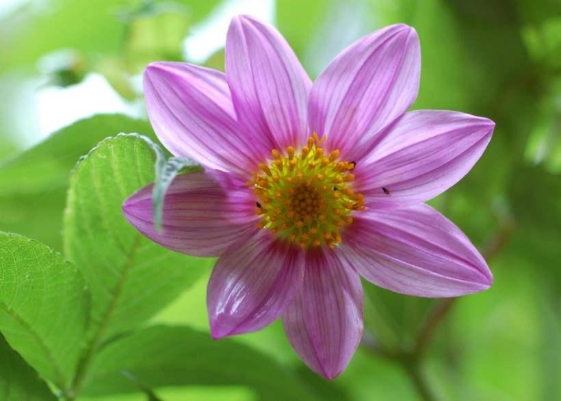 Георгины 50 фото — описание сортов, посадка и выращивание