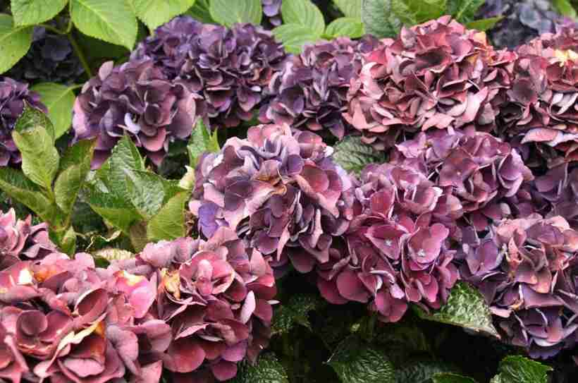Гортензия 50 фото — описание, уход, выращивание