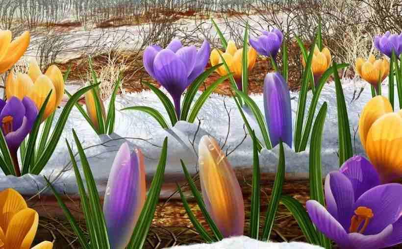 Крокусы 40 фото — размножение, посадка и выгонка цветов